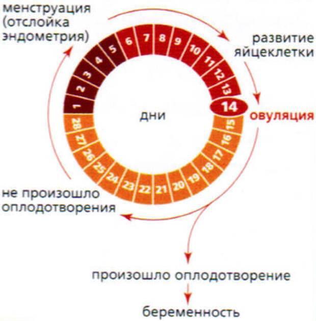 Что такое «овуляция и беременность» - глоссарий портала probirka.org