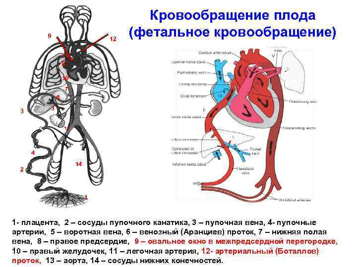 Глава ix. органогенез и гистогенез