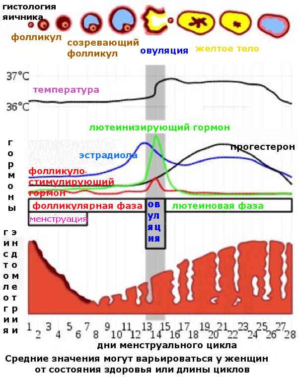 Размер фолликула по дням цикла: норма и таблица
