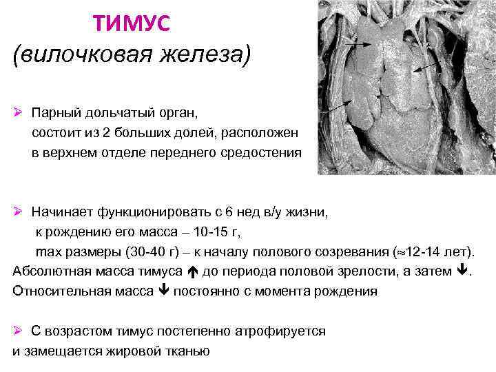 Узи вилочковой железы (лекция на диагностере) - диагностер