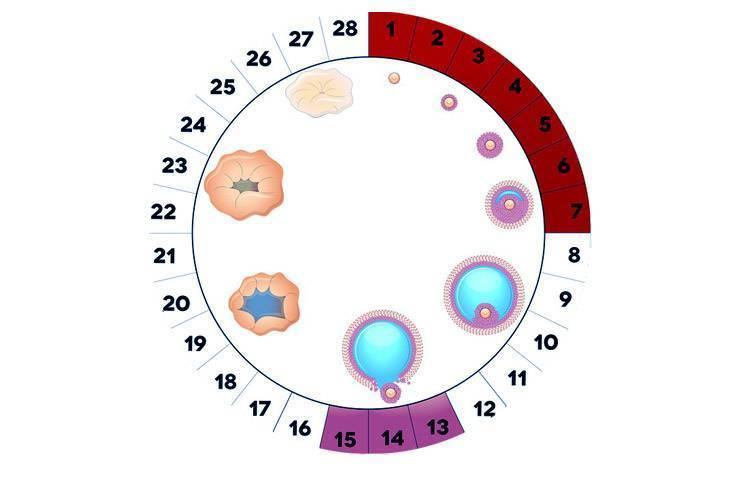 Что такое ановуляторный цикл