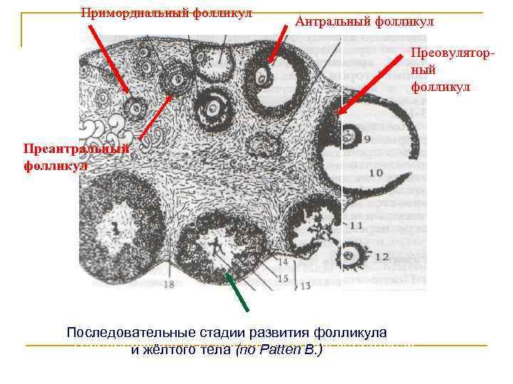 Специфика проведения фолликулометрии