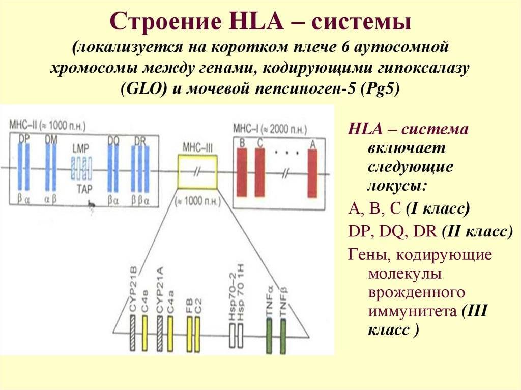 Hla-типирование и репродукция