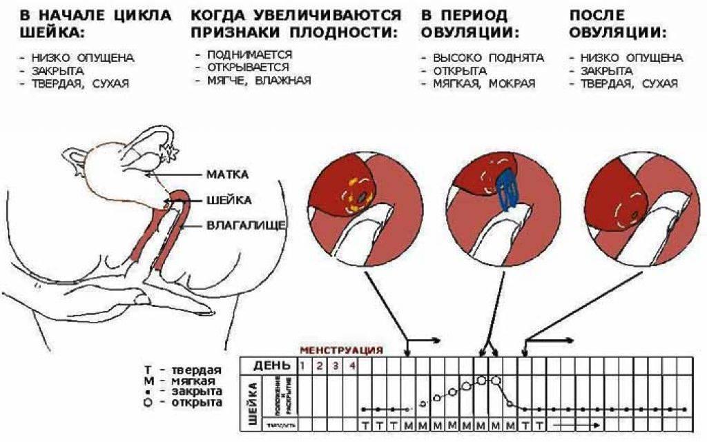 Менструальный цикл и овуляция