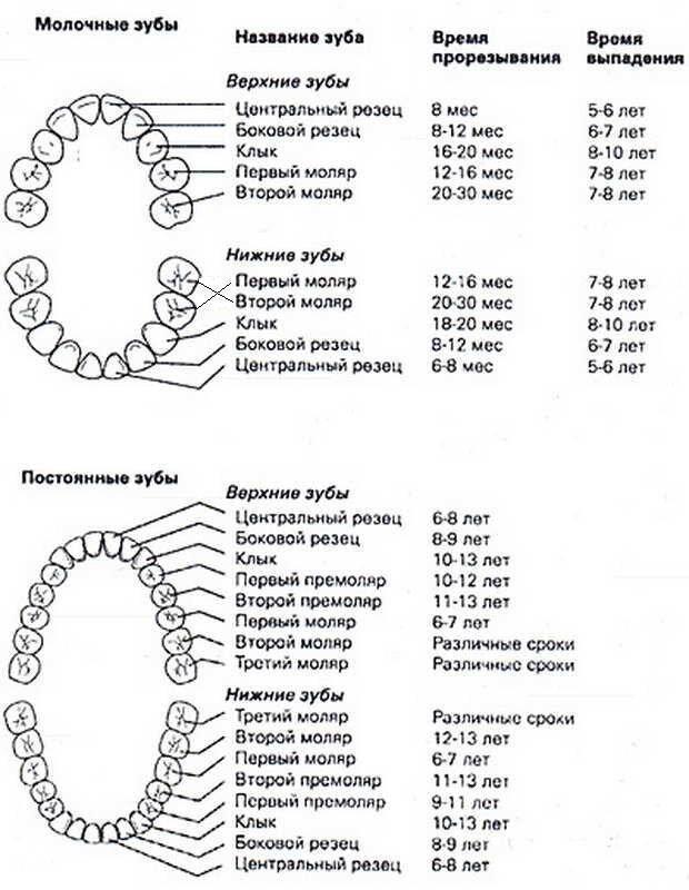Виды зубов: резцы, клыки, премоляры, моляры