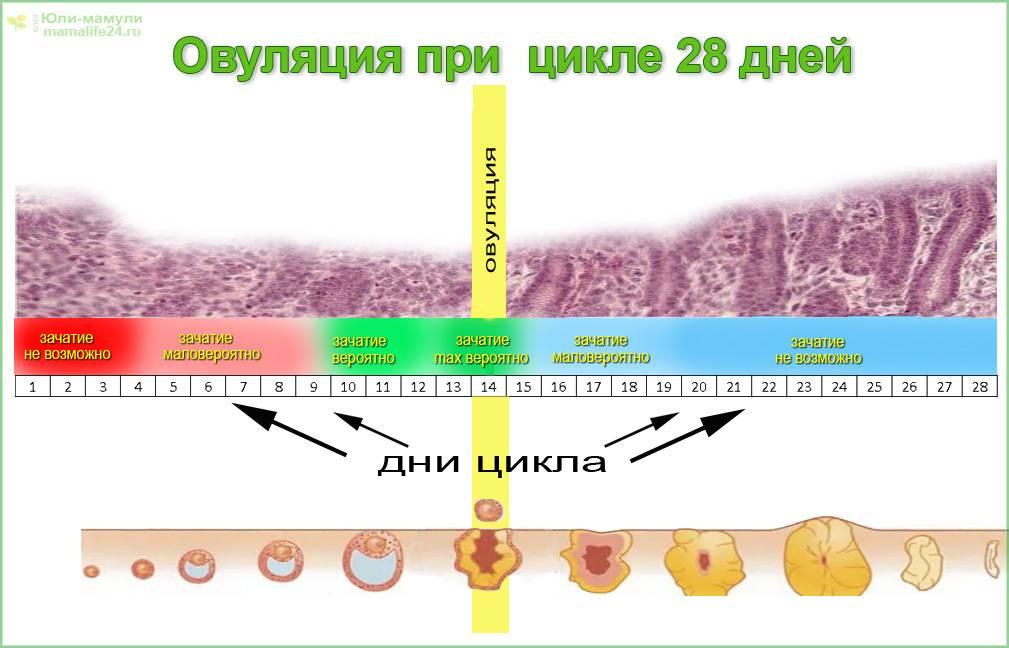 Менструальный цикл и овуляция - клиника никамед