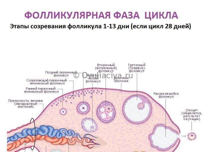 Яичники