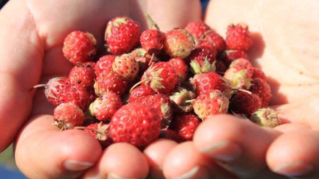 4 причины деформации плодов садовой земляники