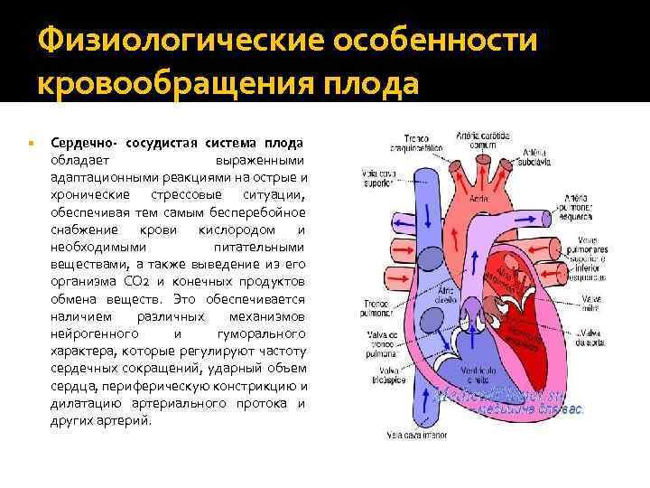 Кардиогенез :: развитие кровеносной системы - изменения кровообращения после рождения. (б.карлсон основы эмбриологии по пэттену)