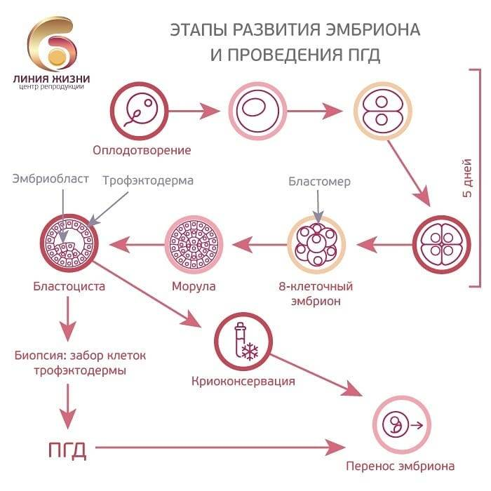 День переноса эмбрионов | перенос эмбрионов на 3 день и на 5 день
