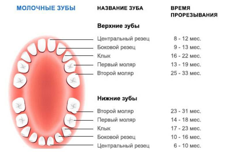 Строение молочных зубов у детей - фото и схемы