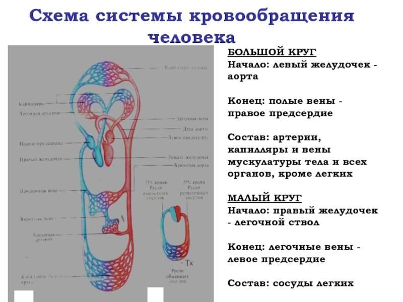 Кровообращение плода. в период внутриутробного развития кровообращение плода проходит три последовательные стадии : желточное аллантоидное плацентарное. - презентация