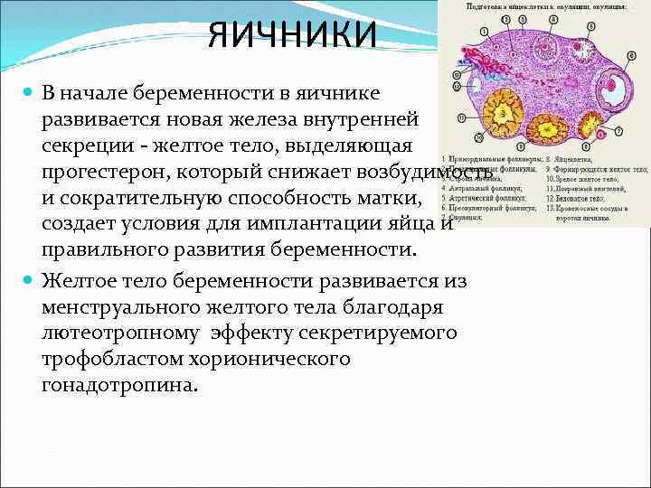 Лютеиновая фаза, овуляция, жёлтое тело