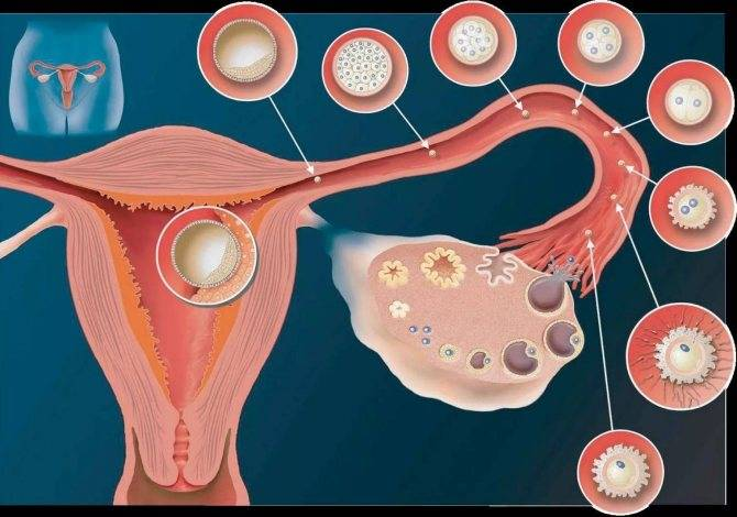 Заморозка яйцеклеток: как происходит - статья репродуктивного центра «за рождение»