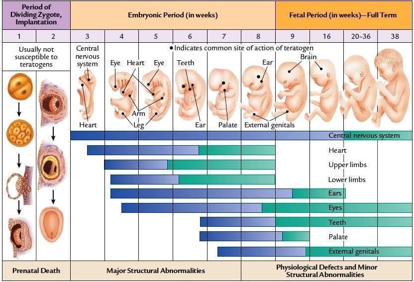 На каком сроке формируется пол ребенка: выясняем вместе