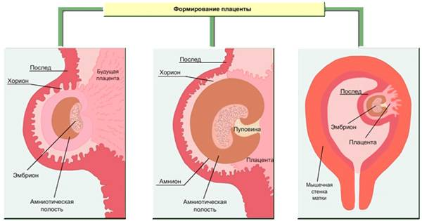 Во сколько недель образуется плацента. когда формируется плацента при беременности