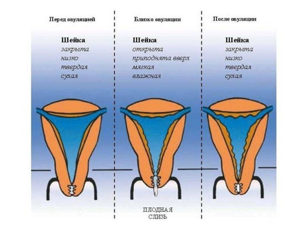 Шейка матки - норма, фото, анализ с шейки матки