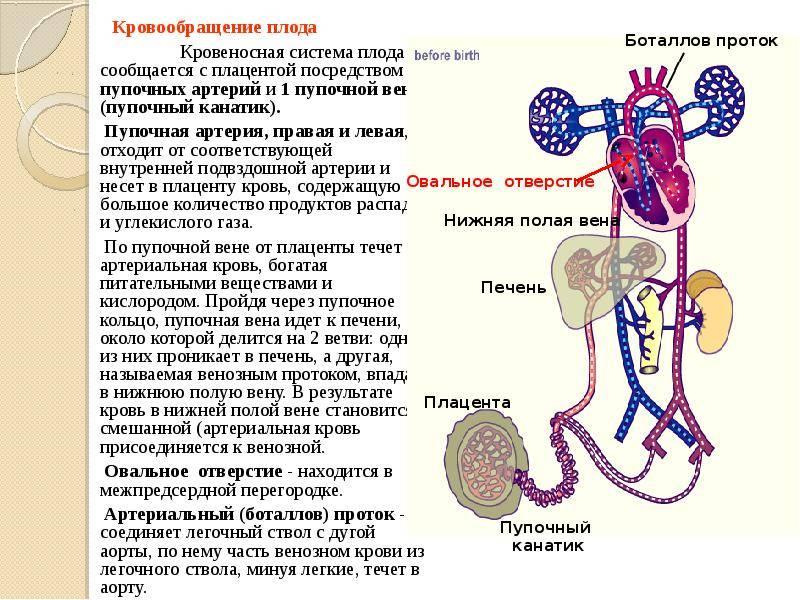 Особенности кровообращения плода