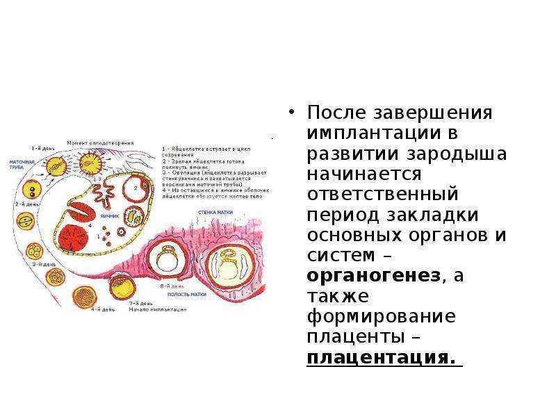ᐉ во сколько недель образуется плацента. когда формируется плацента при беременности - ➡ sp-kupavna.ru