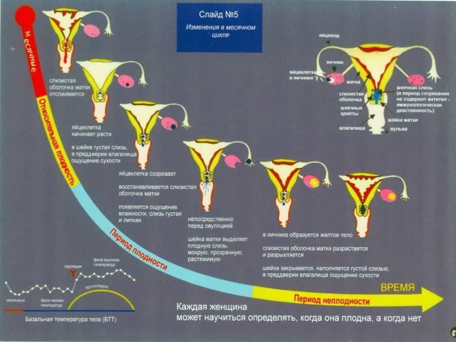 Определяем овуляцию по положению шейки матки