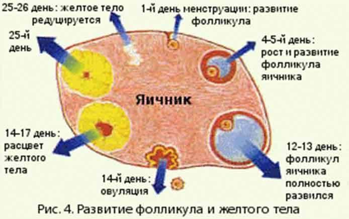 Ранний климакс (ранняя менопауза)