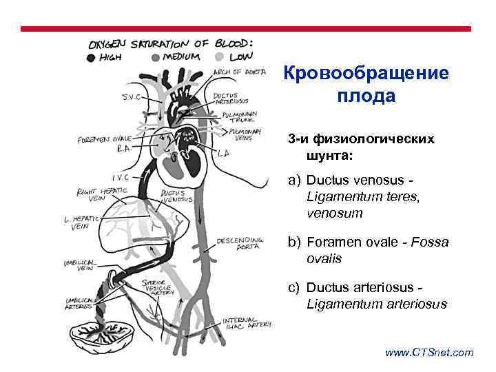 Особенности кровообращения у плода. кровообращение плода. анатомические и физиологические особенности сердечно-сосудистой системы плода