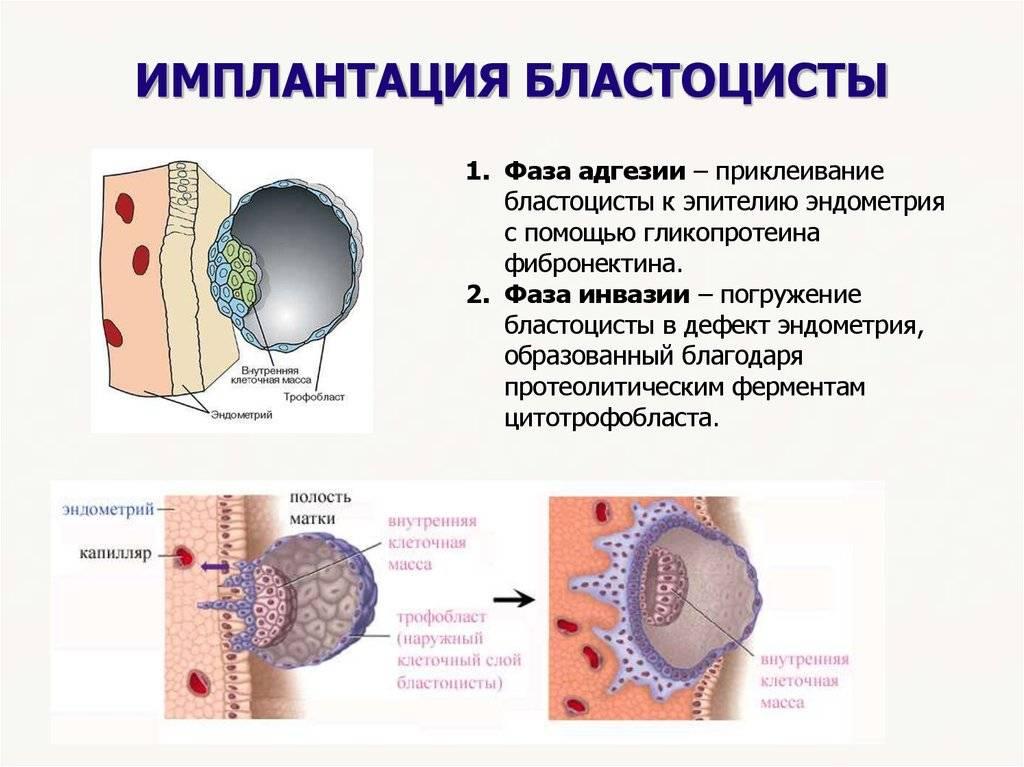 Имплантация эмбриона - симптомы и признаки. как повысить вероятность успешной имплантации эмбриона?