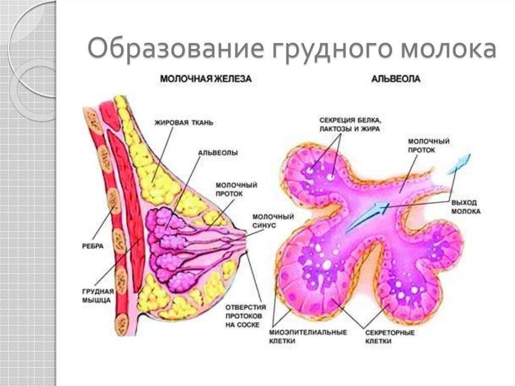 Физиология лактации или как вырабатывается грудное молоко.