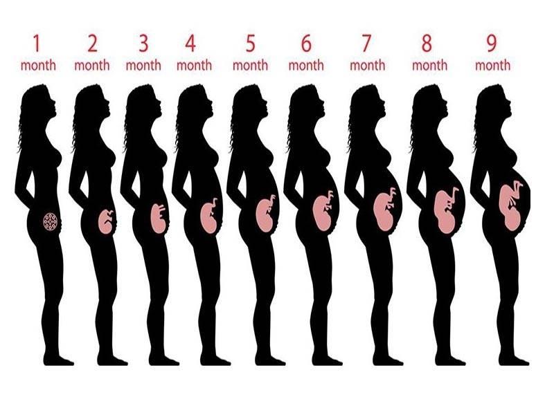 Развитие эмбриона по неделям | как развивается эмбрион