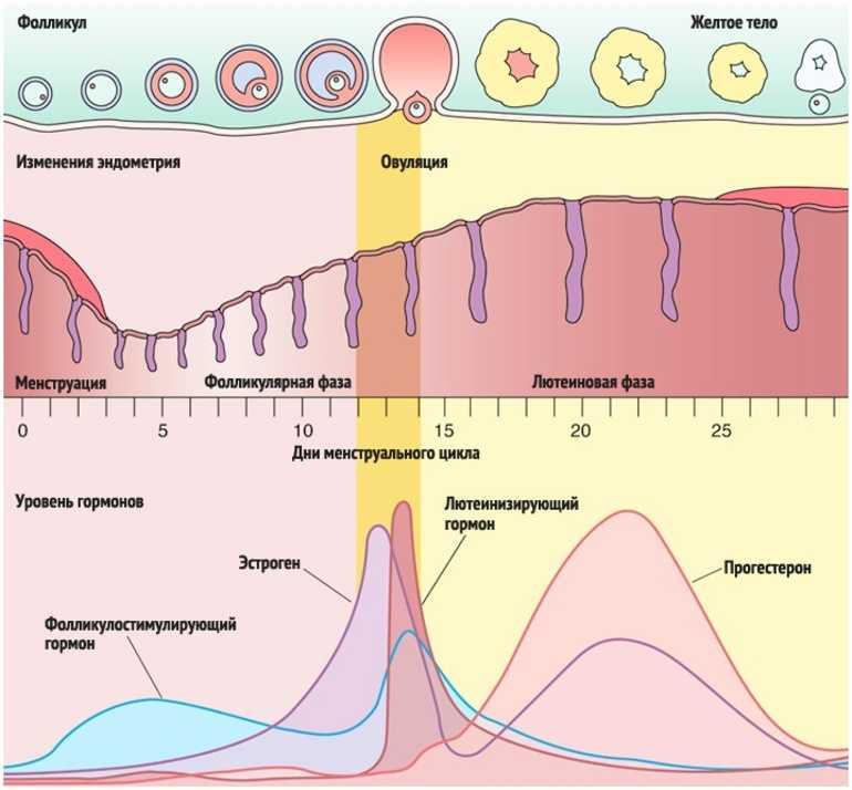 """«до беременности...определение овуляции» (ж-л """"9 месяцев"""", №4, автор акушер-гинеколог цир, к.м.н.томилова м.в.)"""