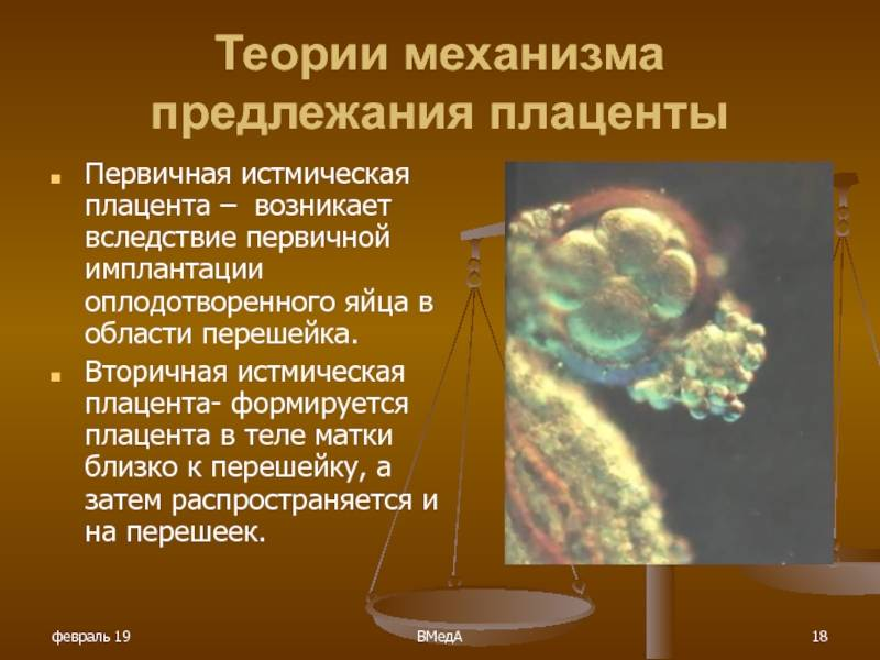 Плацента человека | анатомия плаценты, строение, функции, картинки на eurolab