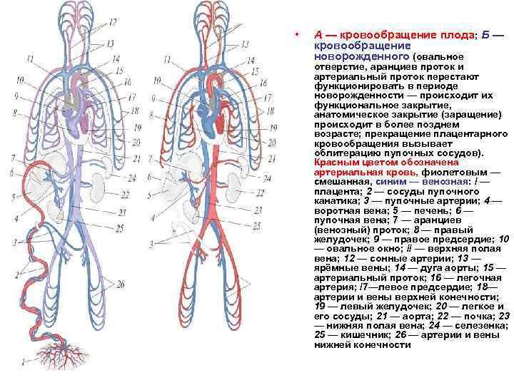 Развитие кровеносной системы