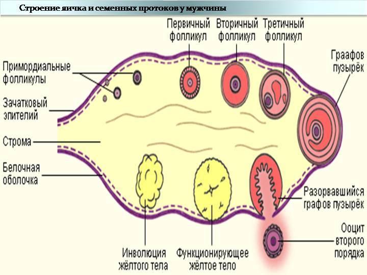 Как увеличить количество антральных фолликул в яичниках: мнение экспертов