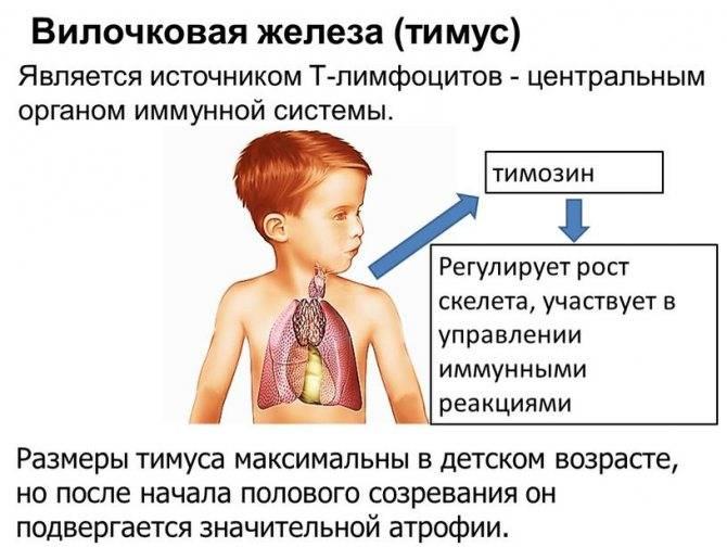 Обследование и диагностика щитовидной, паращитовидных, слюнных желез, тимуса