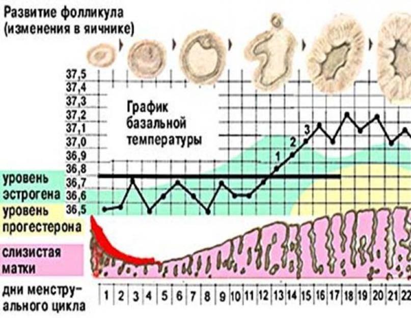 Базальная температура для определения беременности: как измерить до задержки? фото отзывы