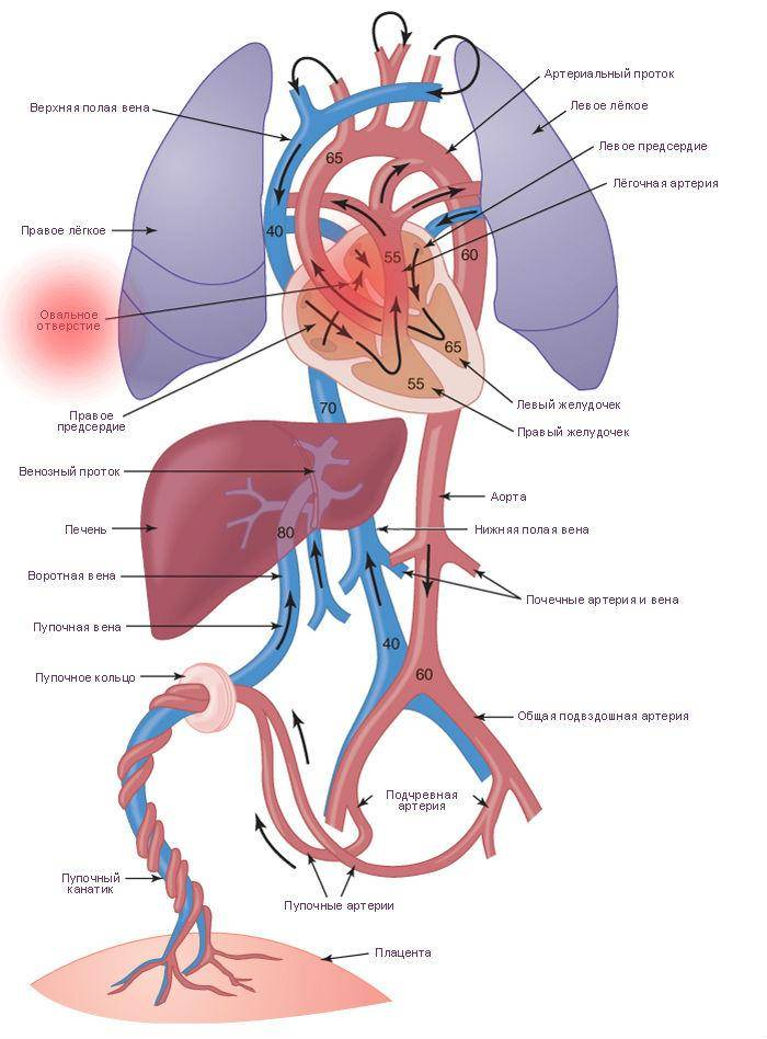 Кардиогенез :: развитие кровеносной системы - кровообращение у зародыша. (б.карлсон основы эмбриологии по пэттену)