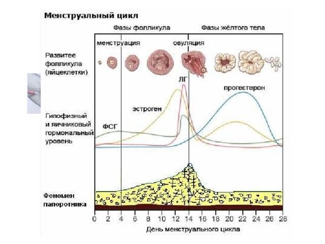 Размер фолликула при овуляции: норма для зачатия, по дням цикла в таблице, 20 мм - когда произойдет?