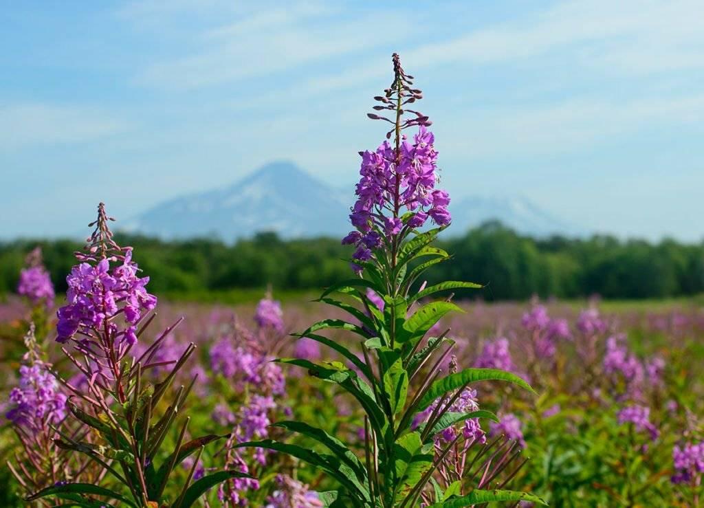 Иван-чай - трава, что дарит здоровье и долголетие