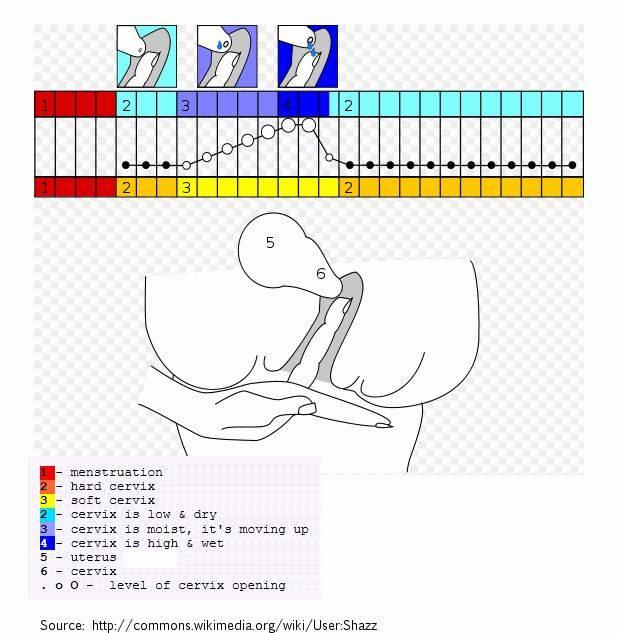 Как по шейке матки определить день овуляции и наступление беременности? осмотр и ощупывание шейки матки. шейка матки до, во время овуляции и после. шейка матки до задержки месячных при беременности :: polismed.com