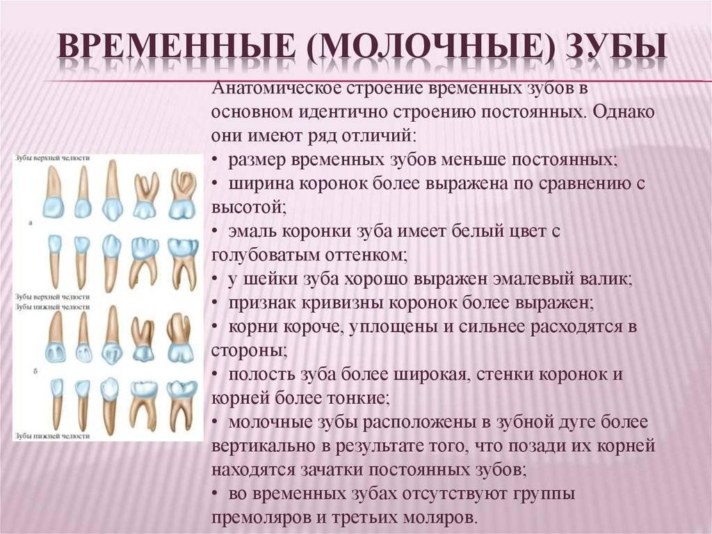Строение молочных зубов – важные особенности