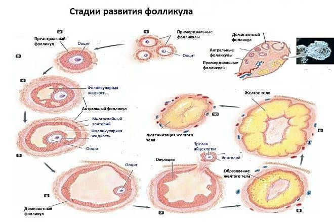 Персистентное желтое тело - зооветеринарный портал беларуси 1vet.by