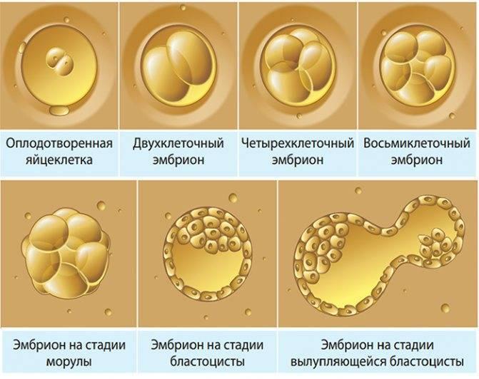 Жизнь после переноса эмбрионов