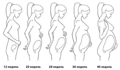 Ранние сроки беременности. плодное яйцо