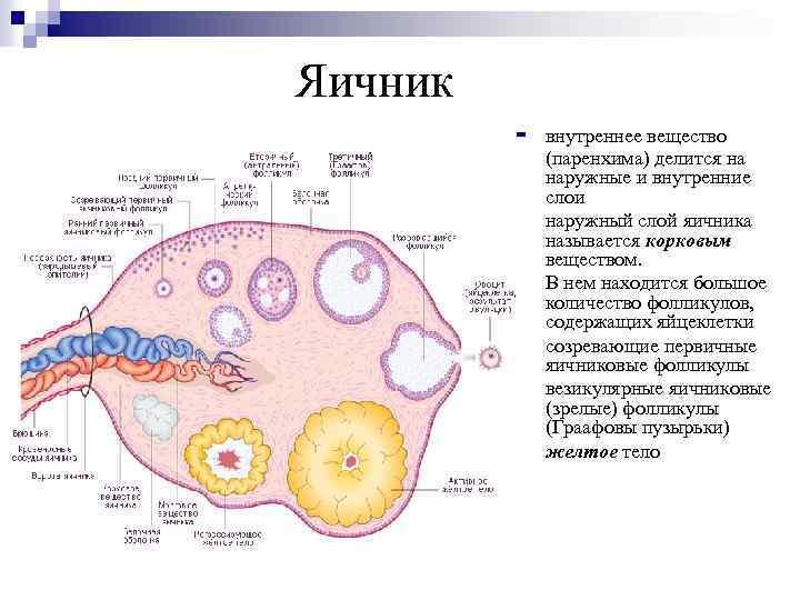 Антральные фолликулы в яичниках: что это и какое количество считается нормой?