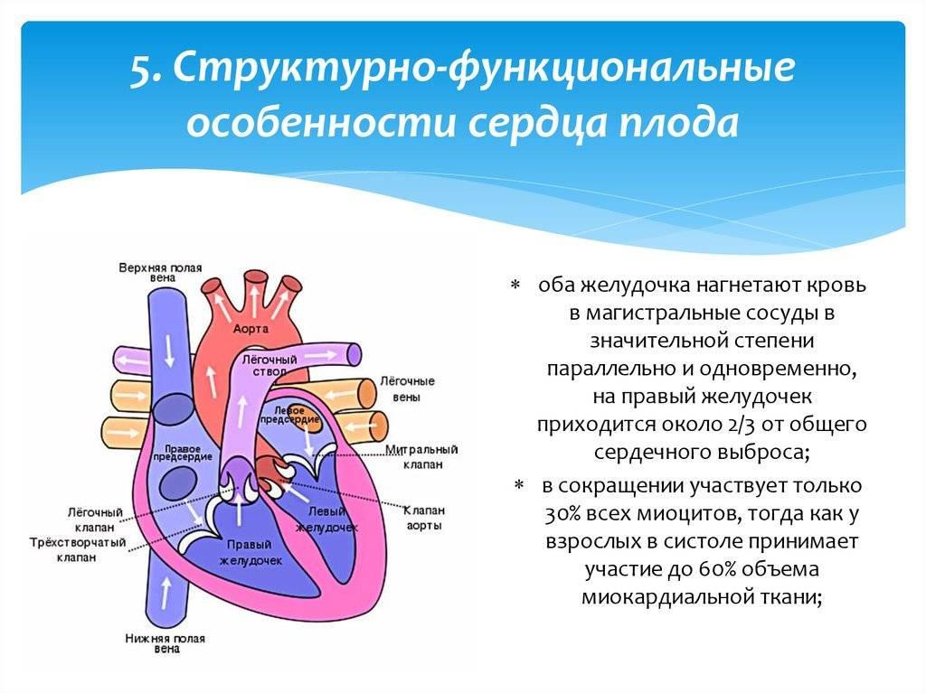 Особенности кровообращения плода. дипломная (вкр). биология. 2011-09-29