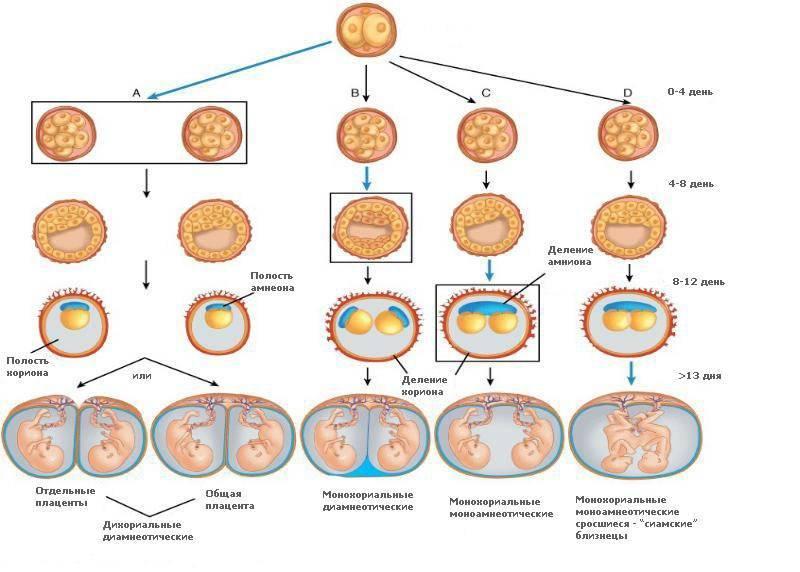 На каком сроке беременности можно определить двойню или близнецов