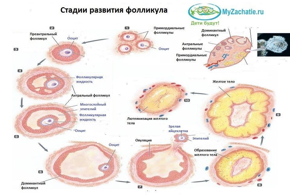 Овариальный резерв яичников — запас яйцеклеток ограничен