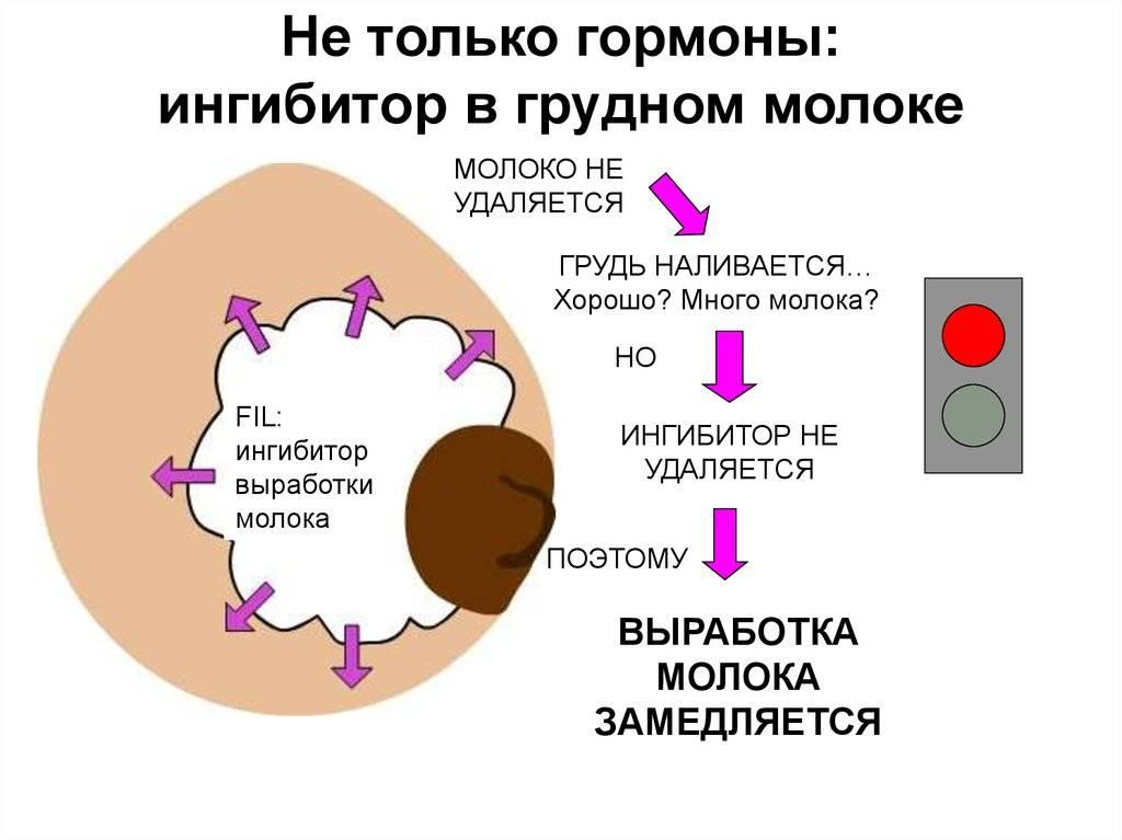 Физиология грудного вскармливания