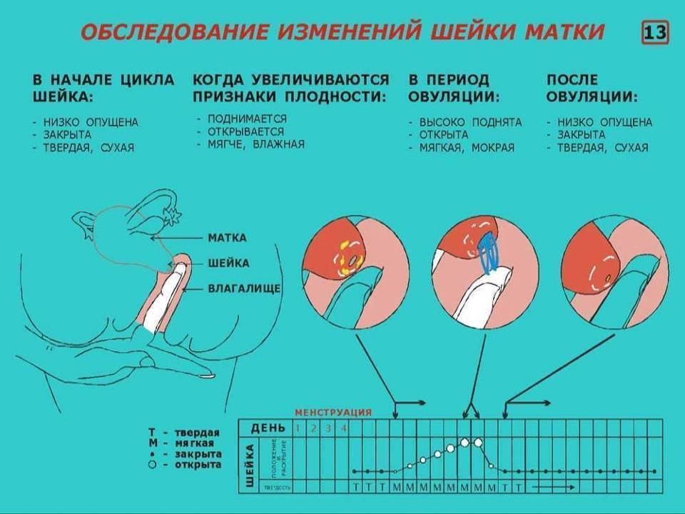 Овуляция у женщины после родов: когда наступает, почему бывает болезненной, может ли быть без месячных?