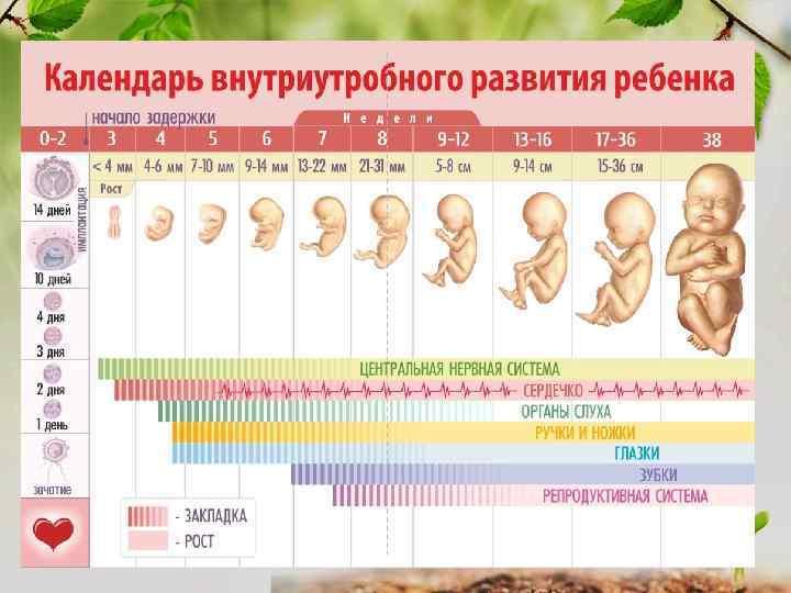 Как определить пол ребенка по сердцебиению: методика и достоверность * клиника диана в санкт-петербурге